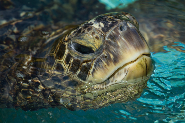 SeaLifeParkHawaii Honu