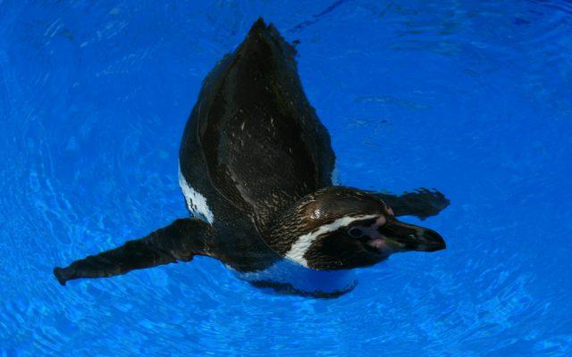 シーライフパークハワイ・ペンギン